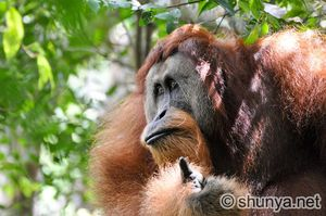 OrangutanC21