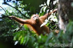 OrangutanE06