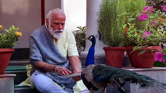 Modi-peacock