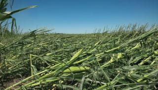 Severe windstorm devastates Iowa crops; farmsteads